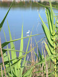 Title: Egret in canes