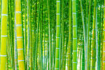 Title: Bamboos, yet again!
