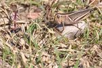 Title: Cricket from WyomingNikon D90