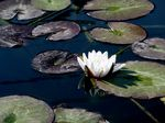 Title: Nymphaea