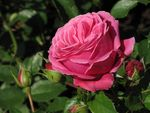 Title: roseCanon  Powershot SX10IS