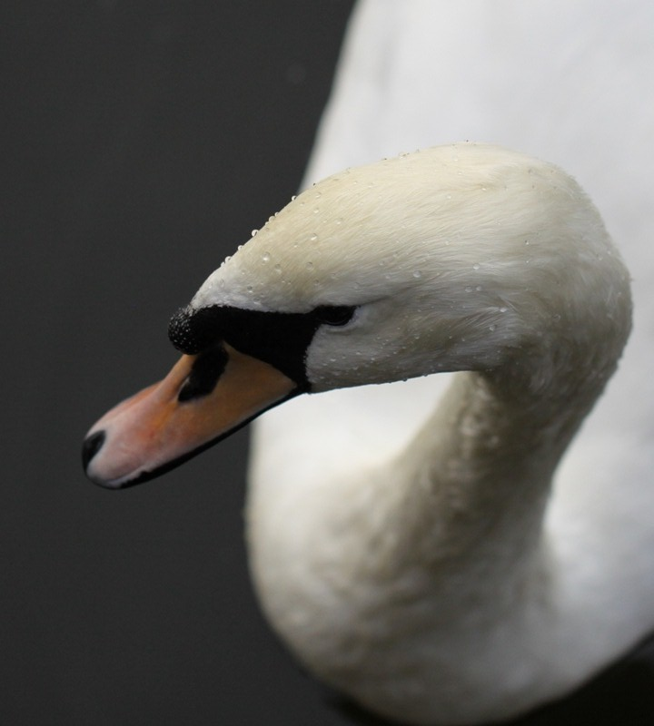 Ugly duckling?