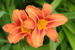 Title: Daylily Orange