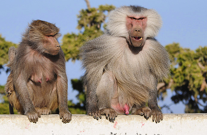 Baboons of Abha