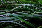 Title: Grass Morning Dew
