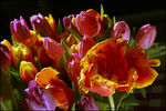 Title: Tullips from Lisse