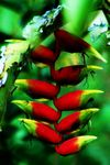Title: Heliconia