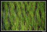 Title: Rice filed