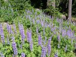 Title: Lupine TrailFuji Finepix S5700