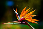 Title: Bird of paradise