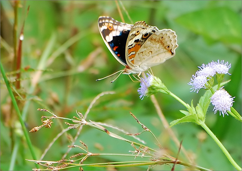 Male Blue Pansy