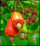 Title: Cashew Nuts