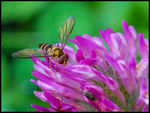Title: Fly on a Clover Flower