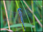 Title: Blue Dragonfly