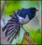 Title: Fly Catcher Stretches His Wings
