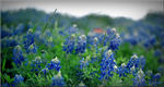 "Title: ""Bluebonnets on Film""Mamiya M645 Super"