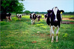 "Title: ""Texas Has Happy Cows""Mamiya M645 Super"