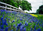 "Title: ""Bluebonnets ~ 220mm Medium Format FilmMamiya M645 Super"