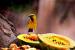 Title: Spectacled Weaver