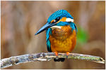 Title: The common Kingfisher