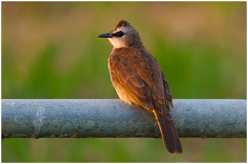 The Yellow-vented Bulbul