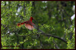Title: Cardinal in Flight