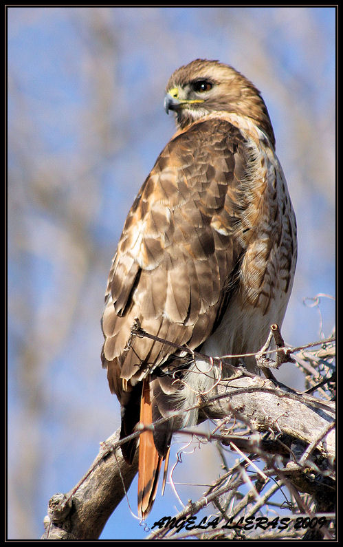 Red_tailed Hawk