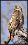 Title: Red_tailed Hawk