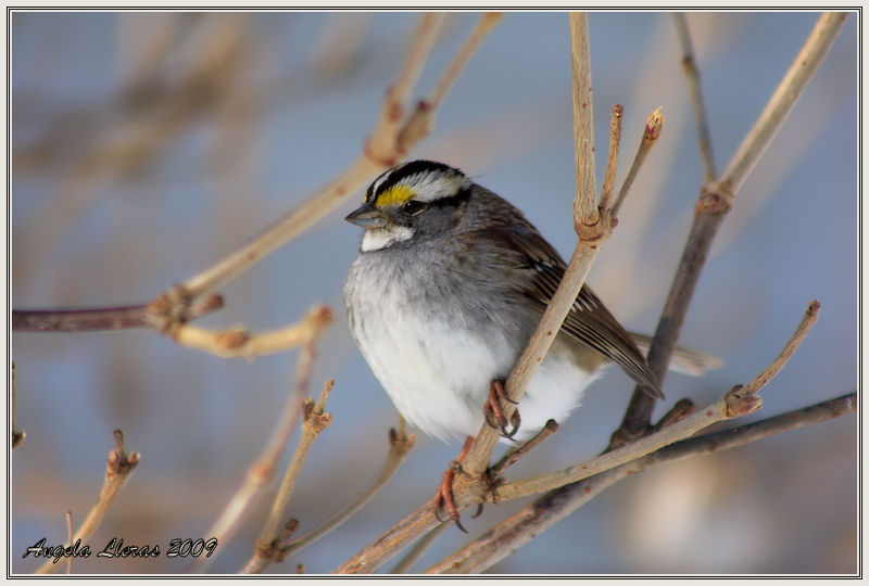 White-throated Sparrow in a Tree