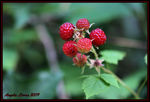 Title: Wild Raspberries