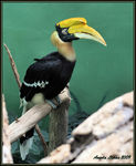 Title: Great Hornbill
