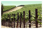 Title: VINEYARD WALK - DI ROSA PRESEVENikon D200