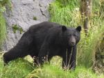 Title: The biggest black bear in the world?
