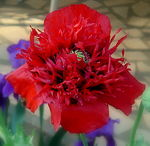 Title: Red Poppy