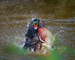 Title: Wood Duck at Play