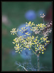 Title: Fennel bluesMinolta Dimage A1