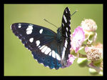 Title: limenitis_reducta