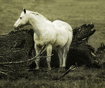 Title: White Horse