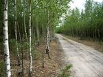 Title: Birch and road