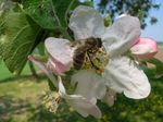 Title: Bee and flower of apple-tree
