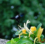 Title: flight of the bumblebee