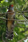 Title: Red-chested cuckooCanon EOS 6D