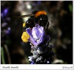 Title: Humble Bumble Bee