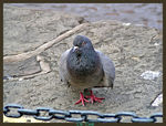 Title: small pigeon