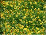 Title: Sunflowers Galore