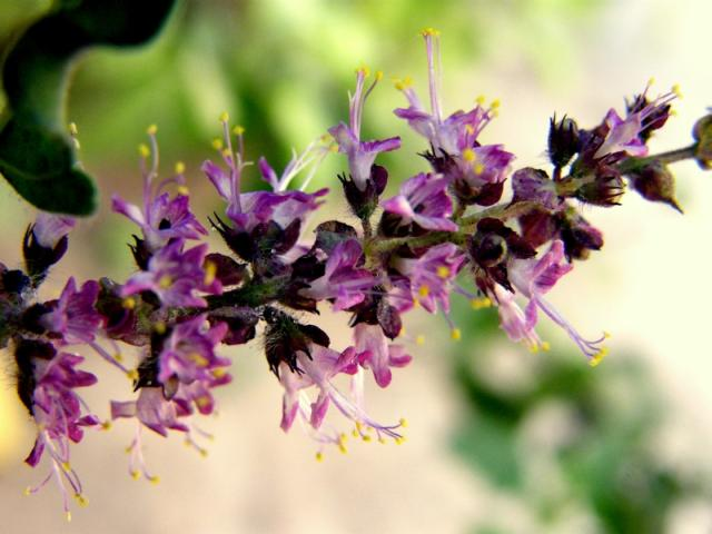 Holy Basil / Tulsi flowers