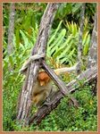 Title: ** The Proboscis Monkey **