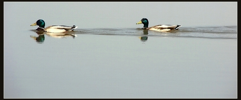 * Simply,  two ducks *