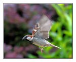 Title: Flying SparrowNikon D80