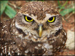 Title: Burrowing Owl Camera: Canon PowerShot S5 IS